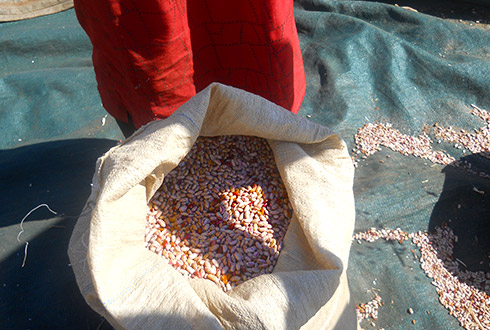 Some of the sugar bean seed which was distributed to the community members as a way of sustainably curb food insecurity in Gwanda district.